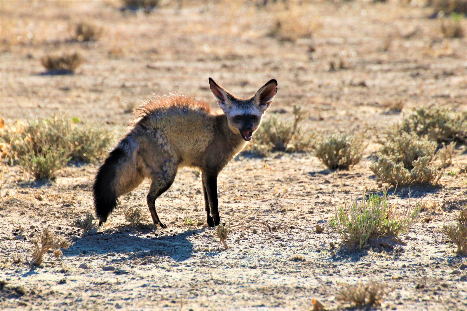 Kgalagadi bat eared fox