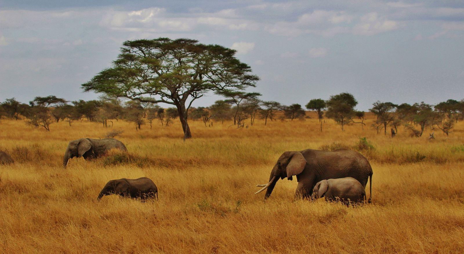Serengeti olifanten