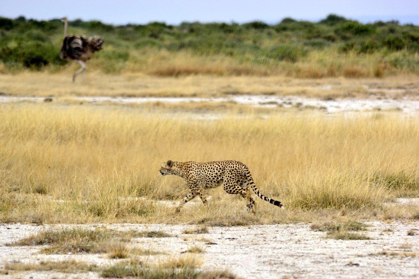 Amboseli cheeta