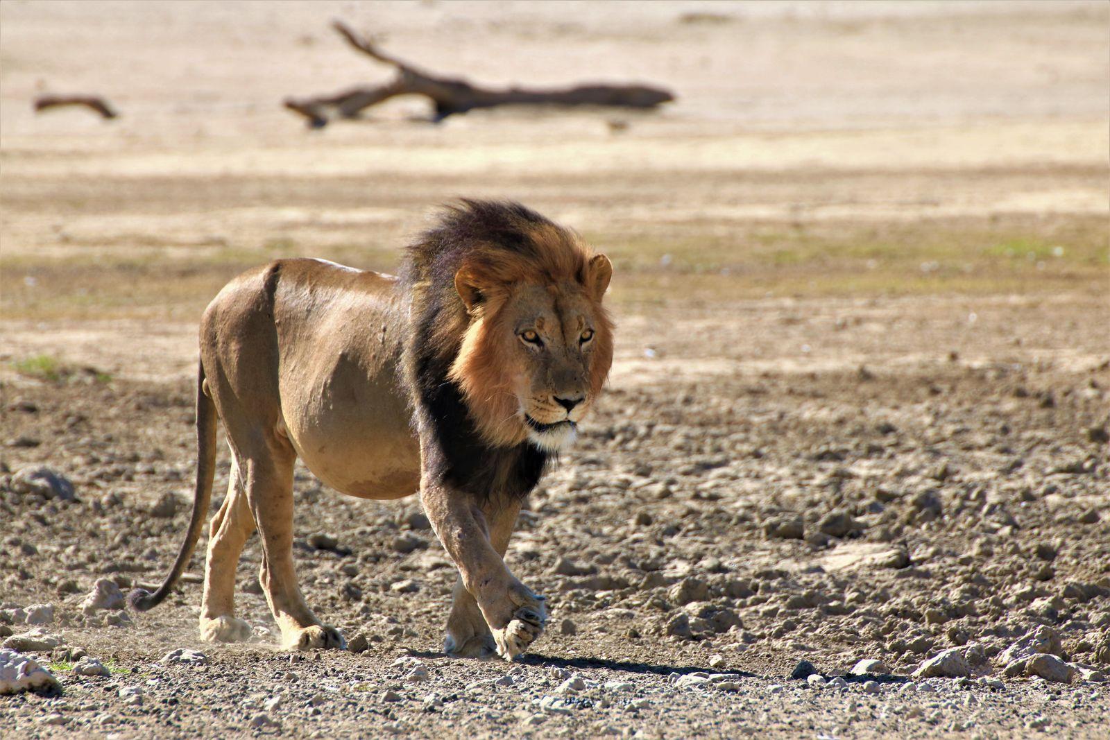 Kgalagadi leeuw