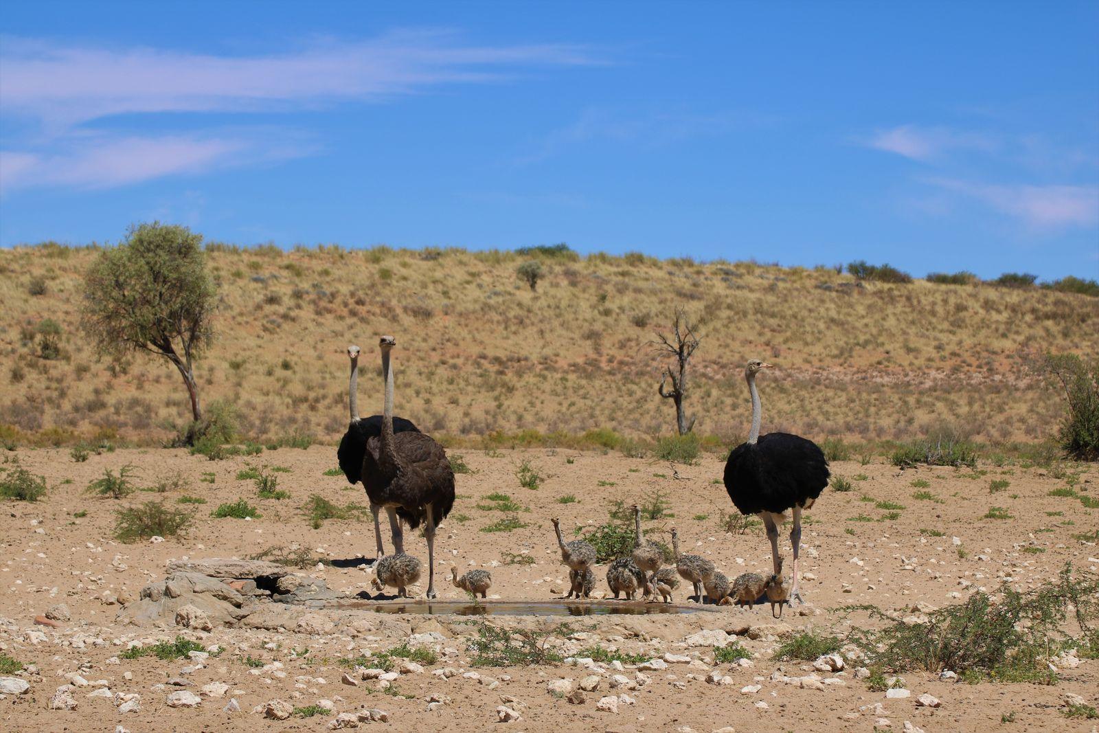 Kgalagadi struisvogels