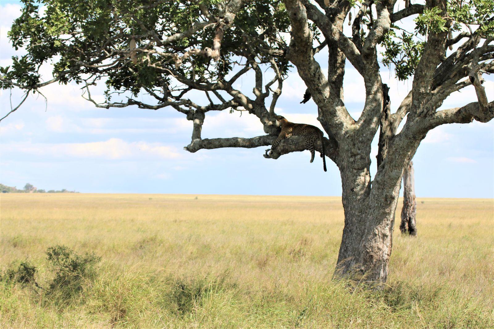 Serengeti luipaard