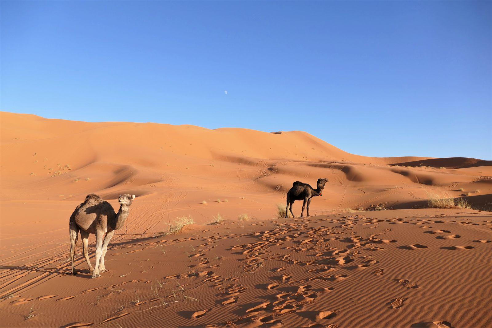 Sahara met kamelen