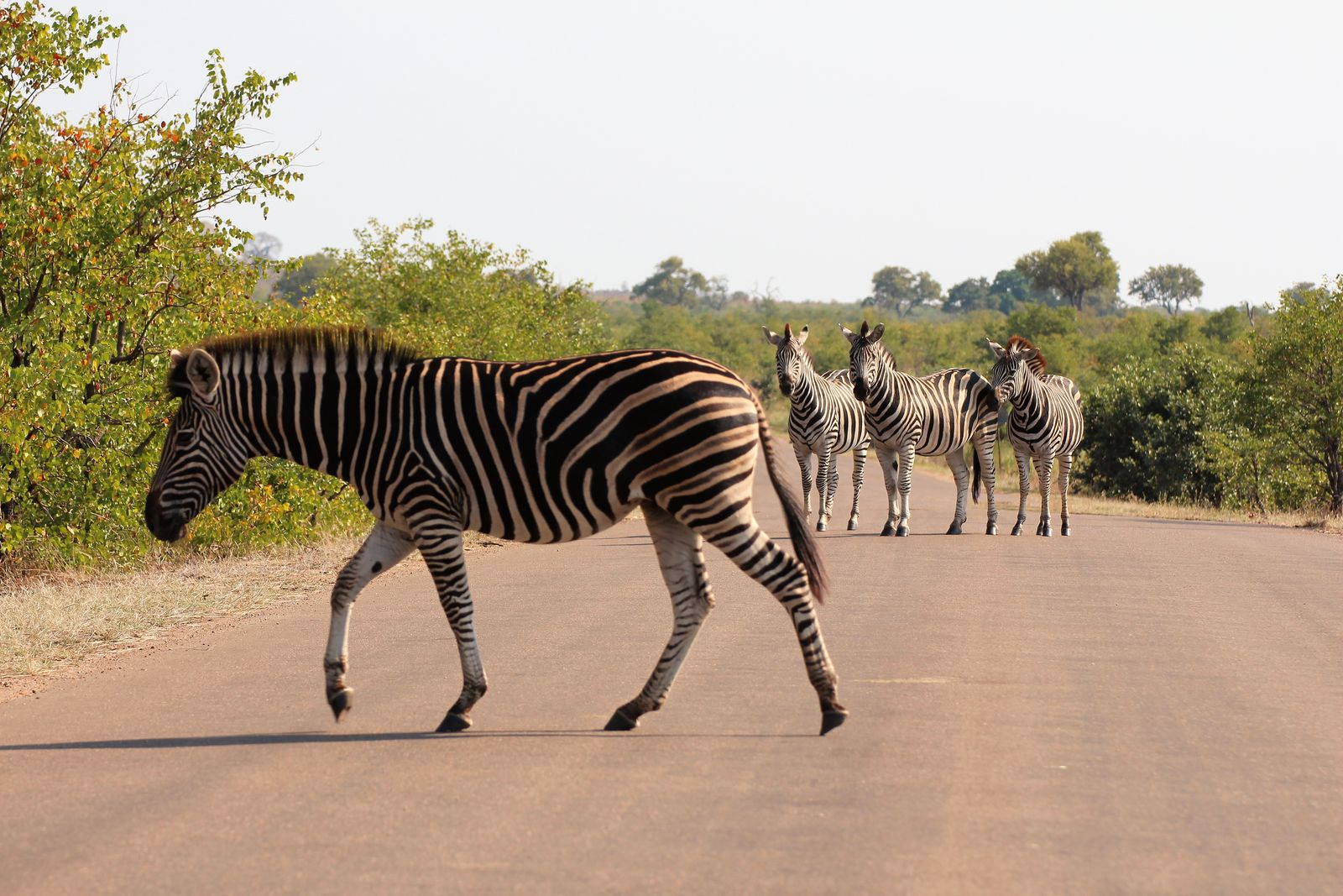 Kruger zebra
