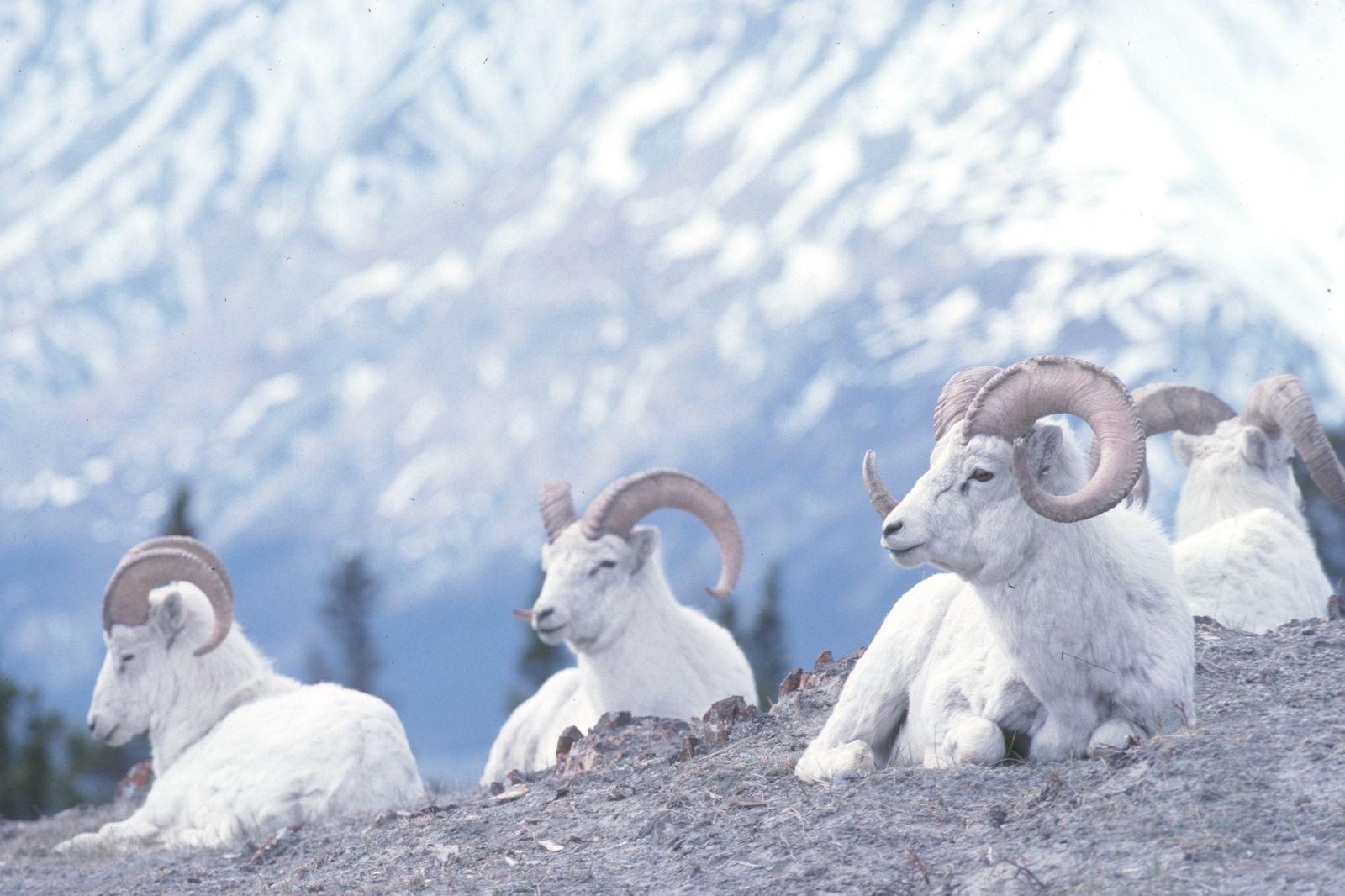 Dall schapen