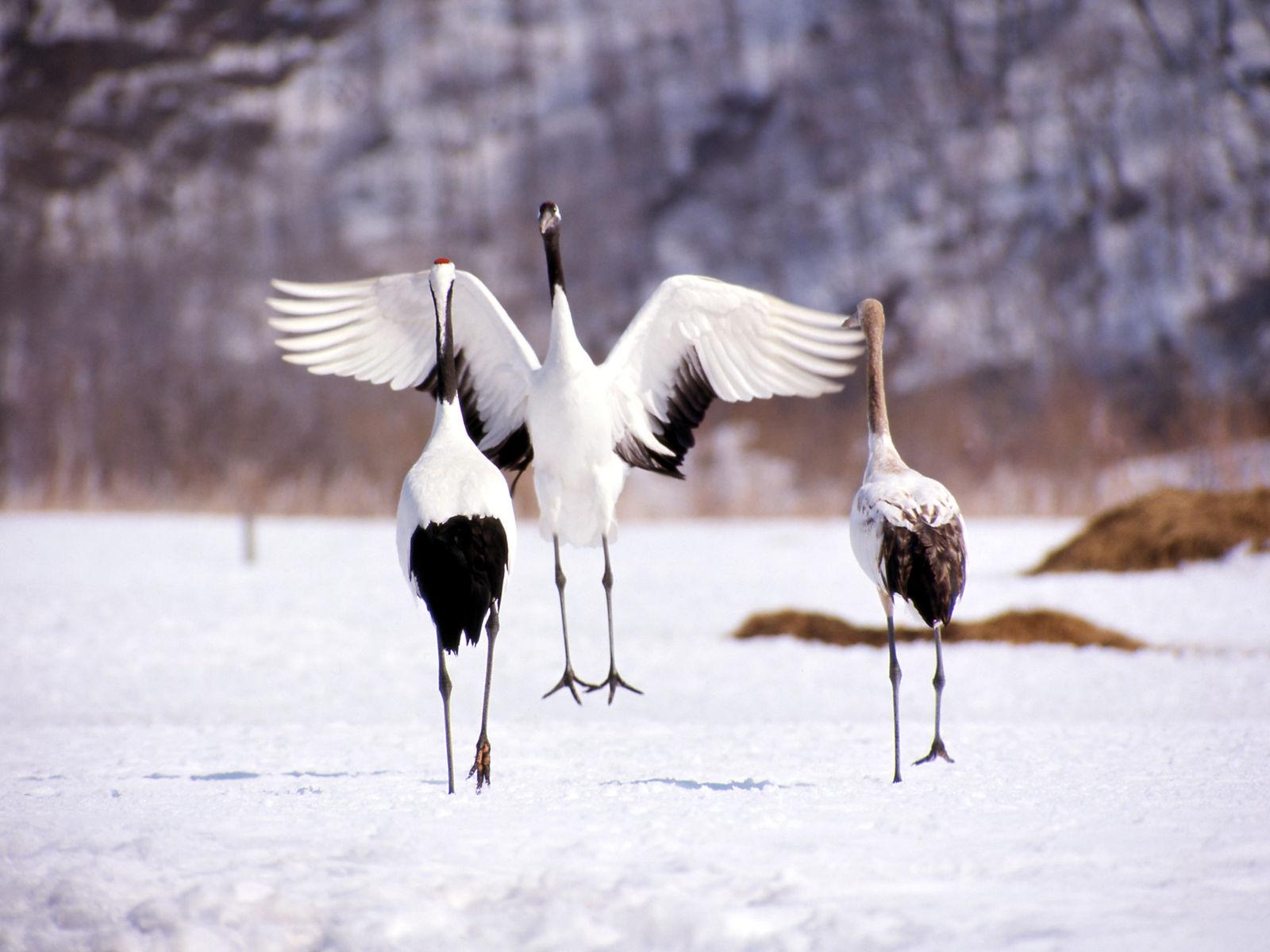 Kushiro kraanvogels