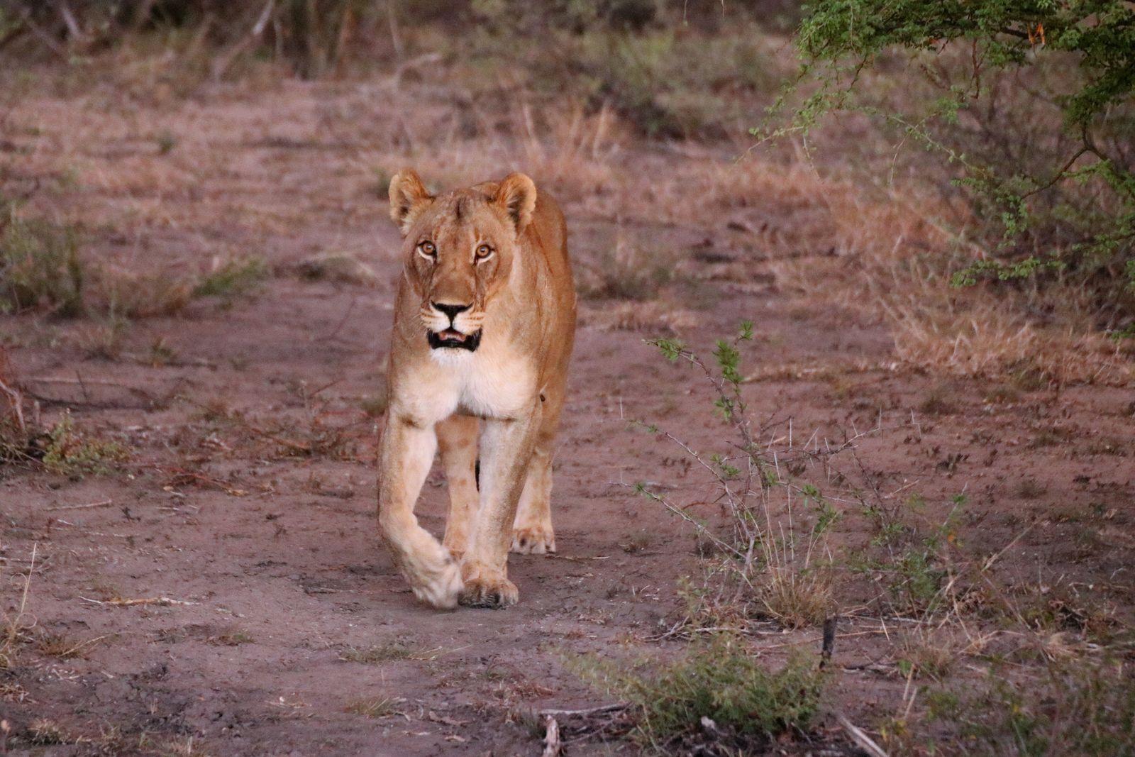 Leeuw Madikwe