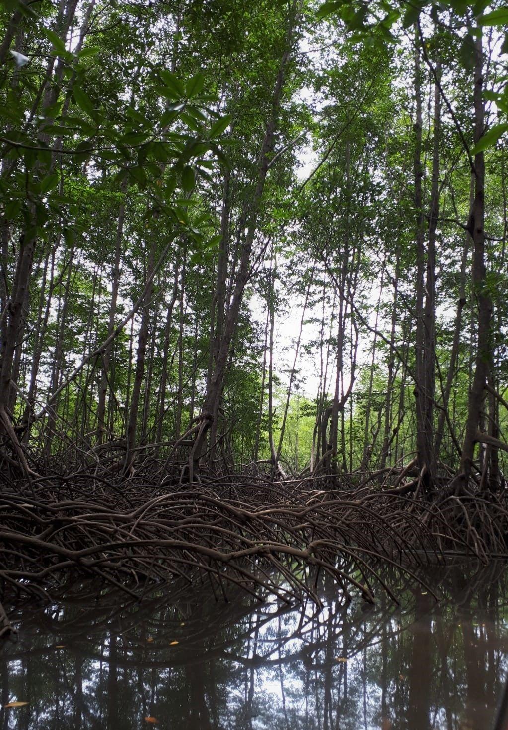 mangrove boot sierpe   drake bay
