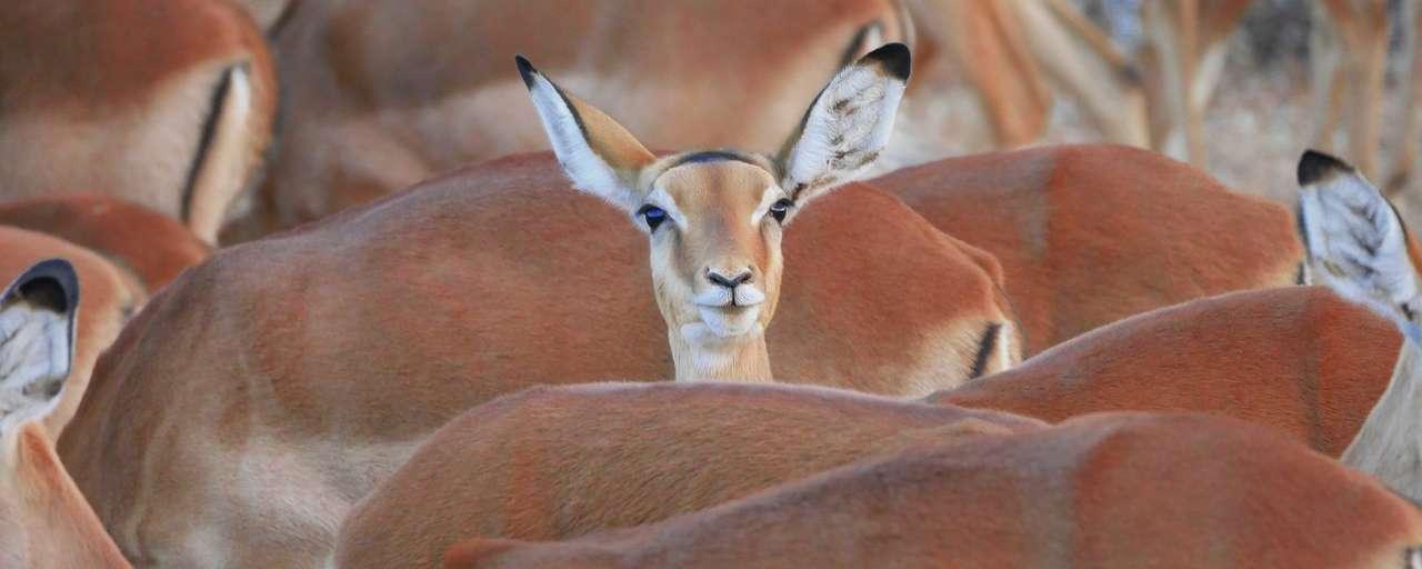Header impala's