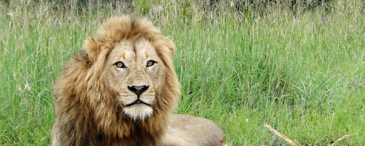 Header leeuw Kruger