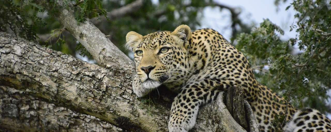 Header luipaard