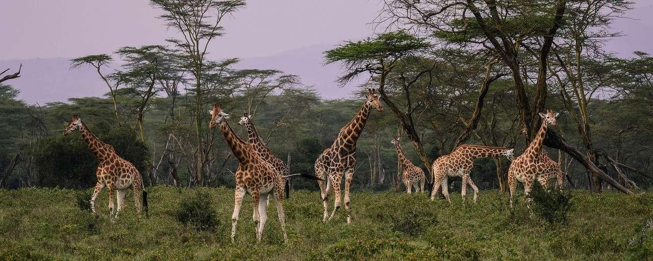 Header giraffes