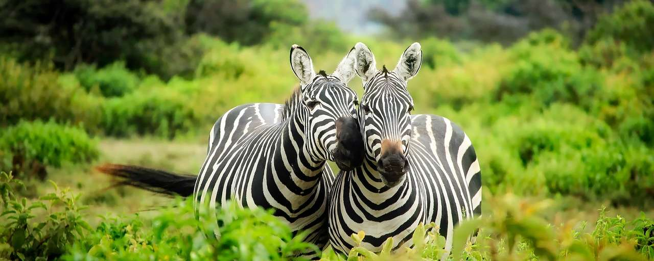 Kenia zebra's